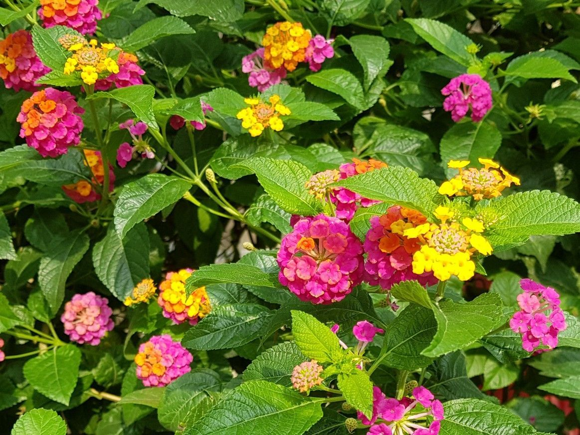 Beautiful Lantana Flowers Famous In Tropical Gardens Islandsofphilippines Garden Plants Nature Photog Lantana Flower Ornamental Plants Flowers Name List