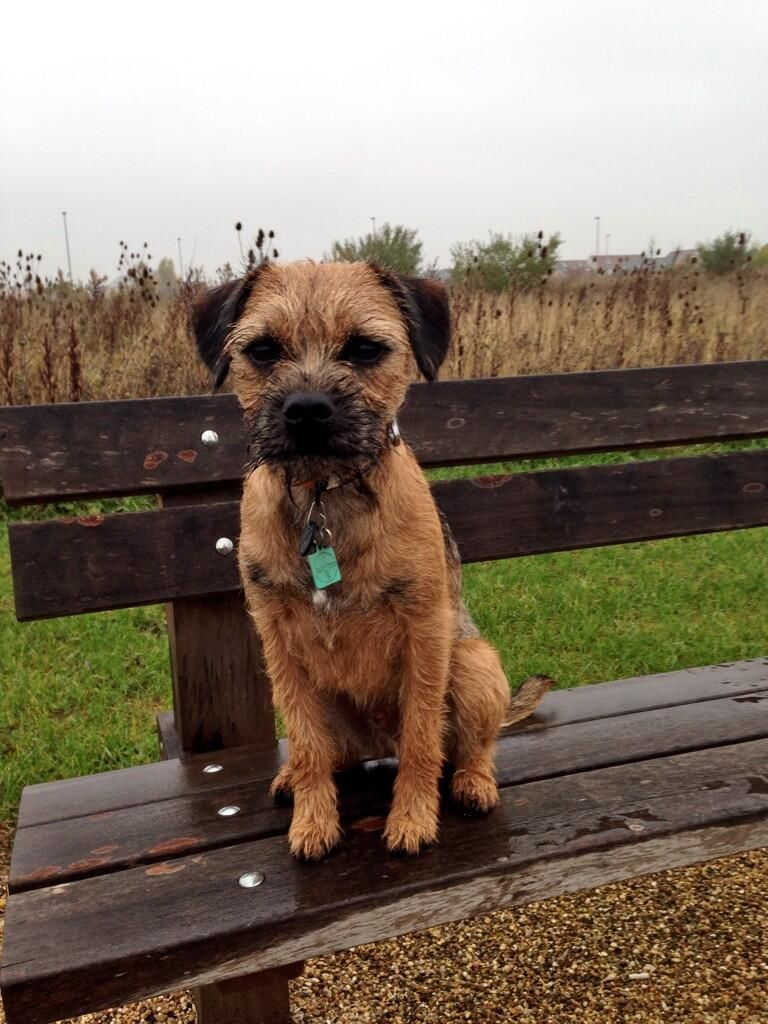 Teddy Teeth On Twitter Border Terrier Puppy Norfolk Terrier Border Terrier