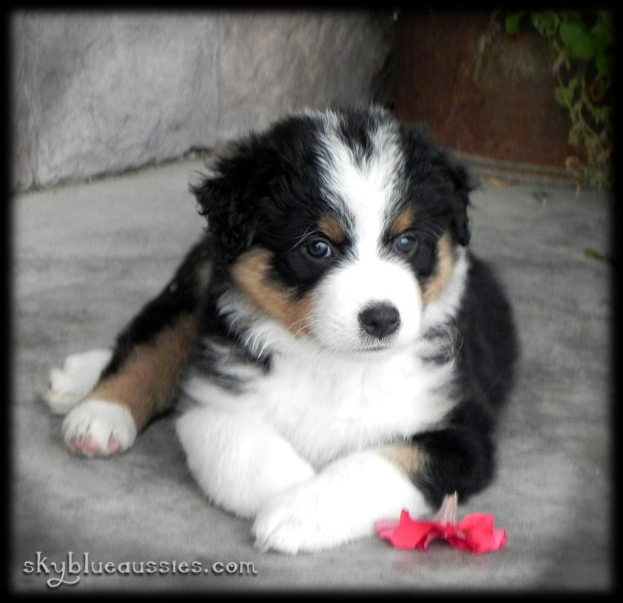 Duke Black Tri Australian Shepherd Puppy Raised By Www