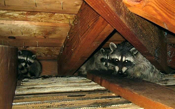 Momma Raccoon With Two Juveniles In An Attic Raccoon Home