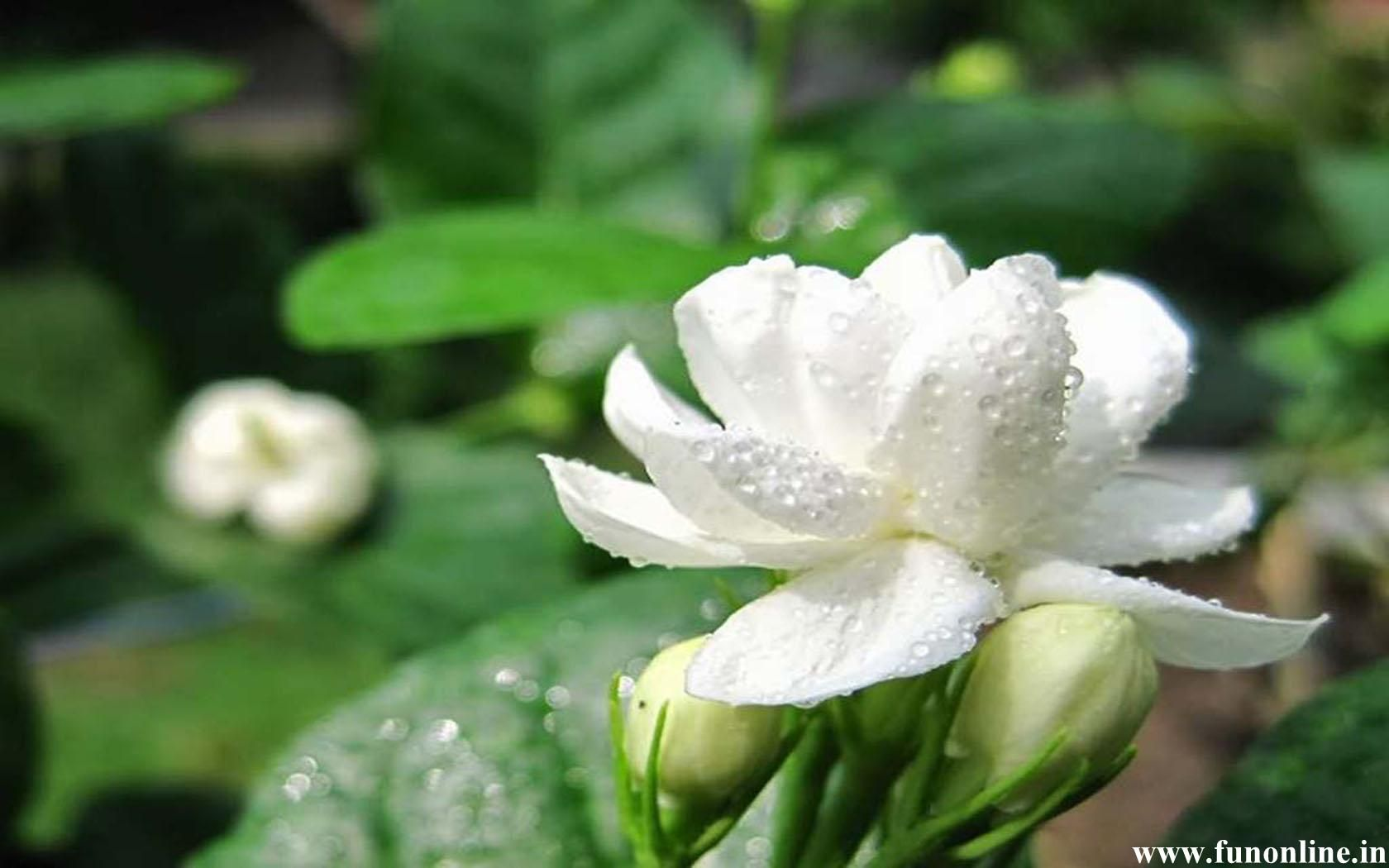 Jasmine Flowers Beautiful Jasmine With Water Drops Flowers