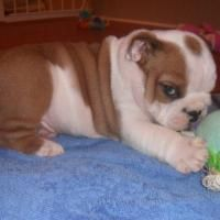 Adorable English Bulldog Puppies For Adoption Offer Phoenix