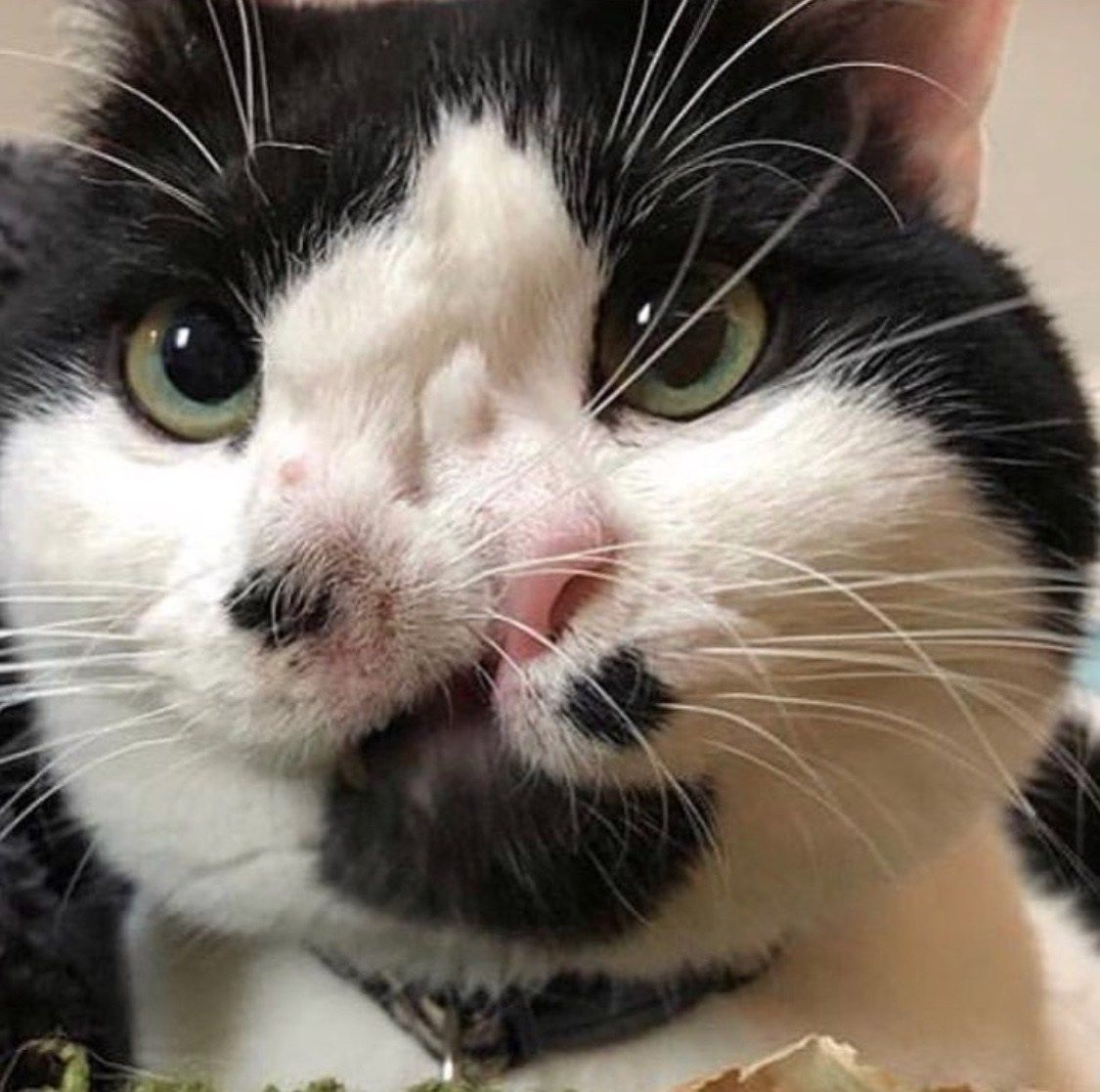 My Interview With Memphis The 2 Nosed Cat Cute Animals Cats And