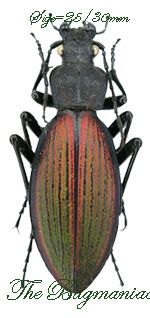 Carabidae : Ceroglossus chilensis mochae - The Bugmaniac INSECTS FOR SALE BUTTERFLIES FOR SALE INSECTS FOR SALE BEETLES FOR SALE BEETLES BY ECOZONE NEOTROPICAL ECOZONE CARABIDAE