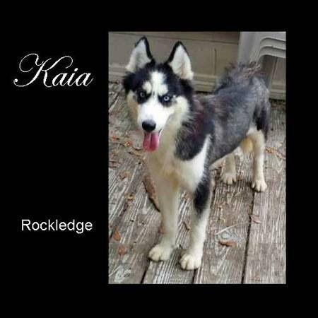 Lostdog 6 20 14 Siberianhusky Rockledge Fl Craigslist Ad Kaia