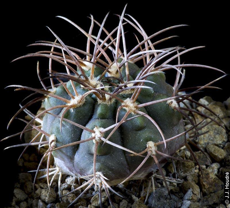 Gymnocalycium catamarcense v. schmidianum P 218