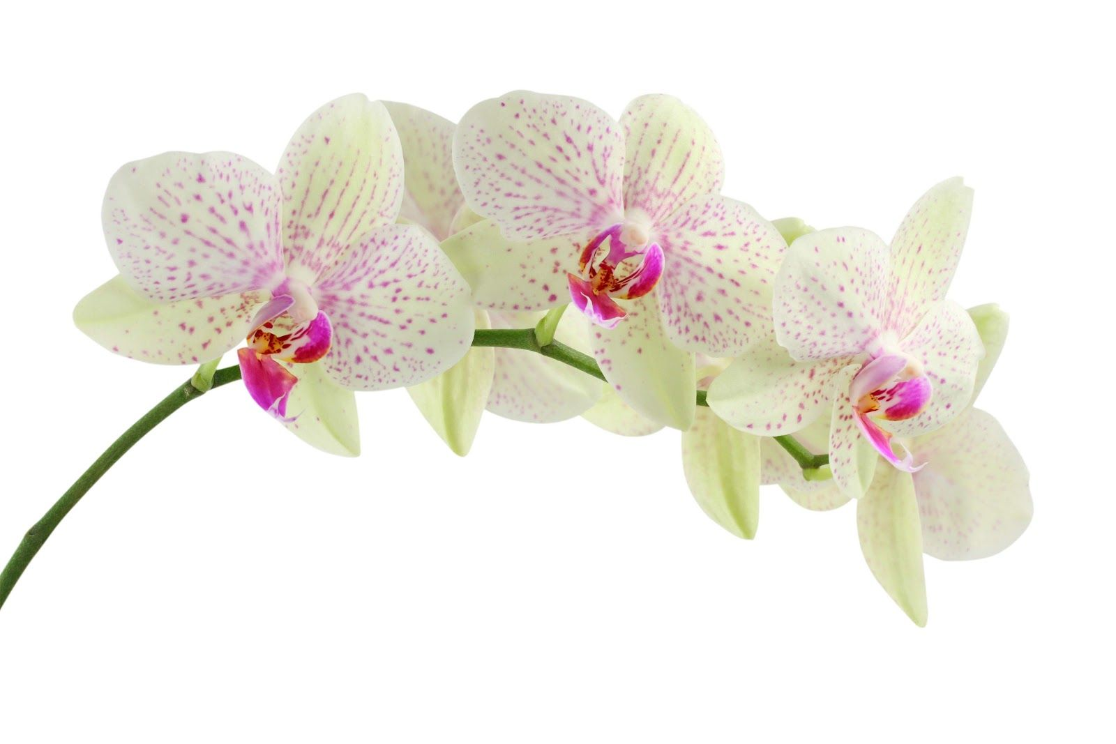 White and pink orchids beautiful pinterest pink orchids