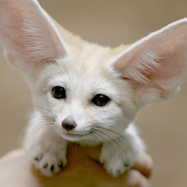 Fennec Foxes Might Be The Cutest Endangered Species