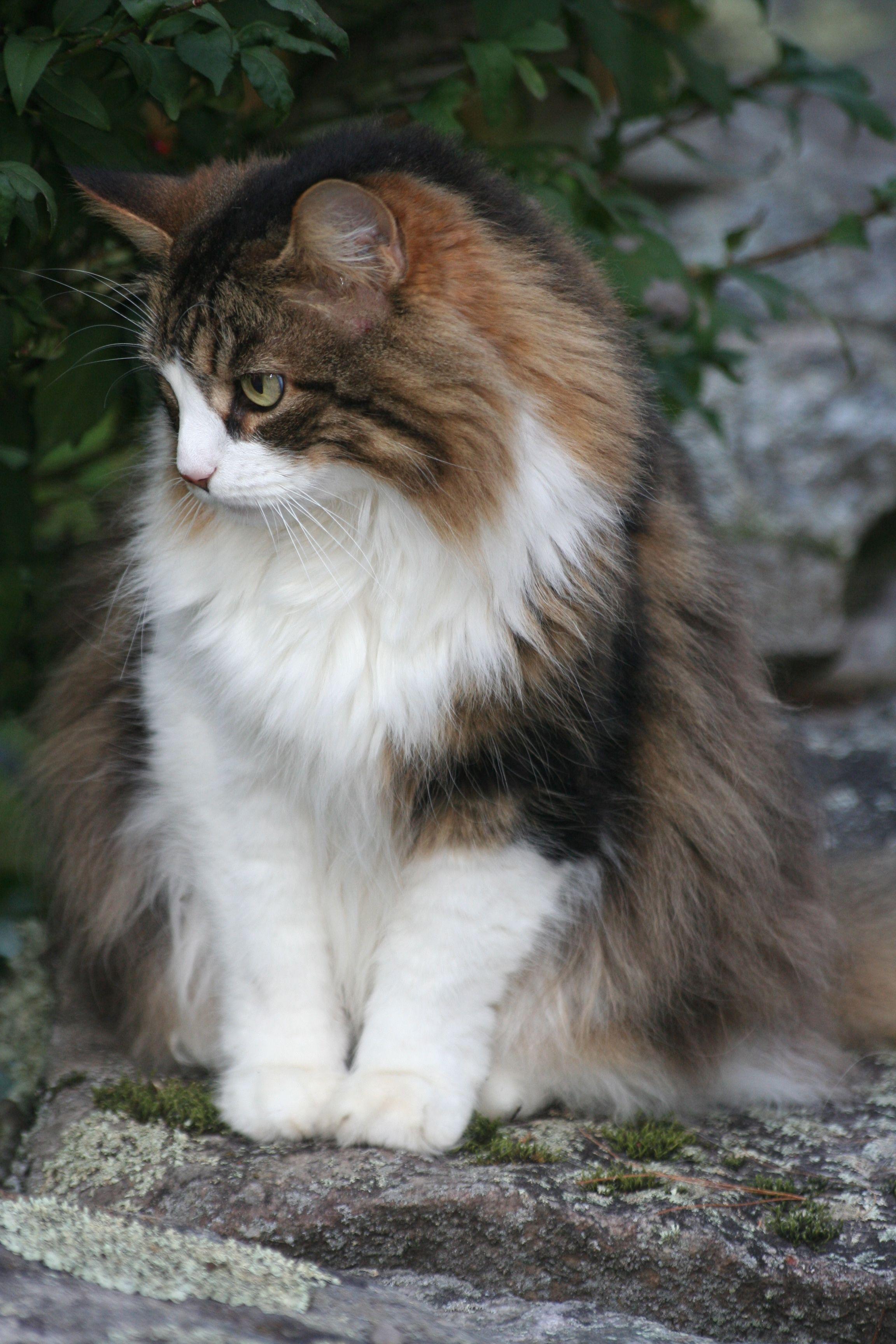 My kitty Nikko Things I Love Pinterest Kitty Cat and Animal