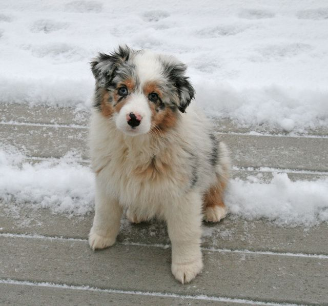 Blue Merle Australian Shepherd Puppy If I Can T Get My English Bulldog I Guess I D Settle For Her Dogs Merle Australian Shepherd Aussie Dogs Australi