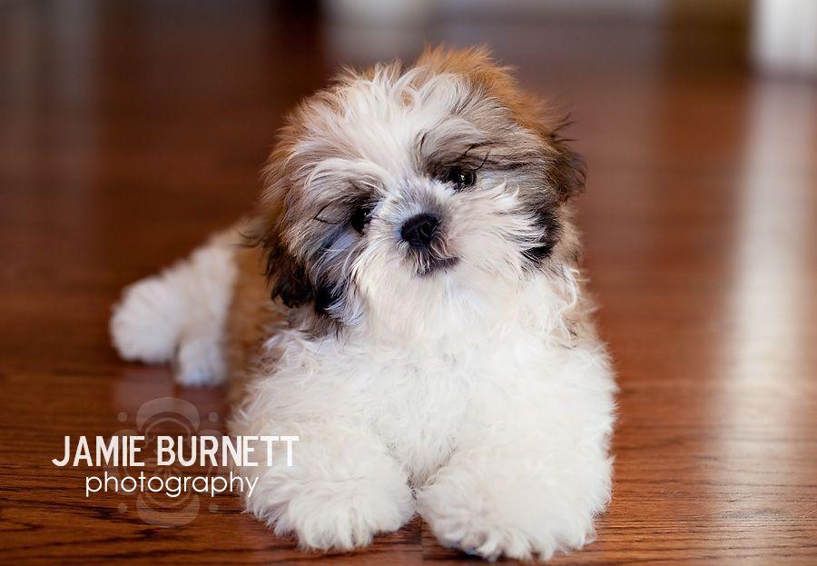 Shih Tzu Puppy 12 Weeks Old Shih Tzu Puppies Shih Tzu Puppy