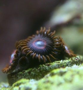 rare Red Hornet zoa zoanthid frag coral