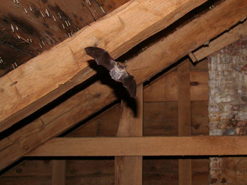 How to get bats out of the attic Bats in attic, Bat, Bat