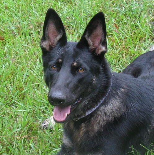 Adopt Izzy On Dogs Dog Search Shepherd Dog