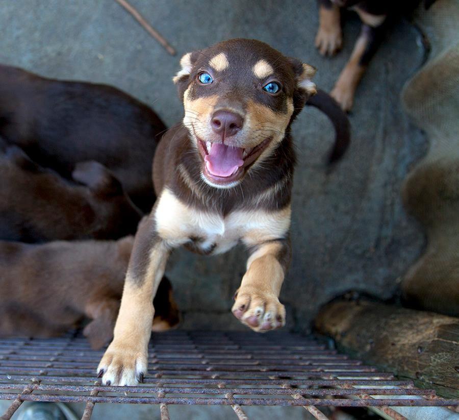 Kelpie puppies (With images) Puppy school, Australian