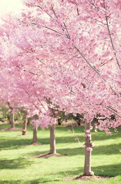 Cherry Blossems Blossom Background Pink Tree Spring Blossoms