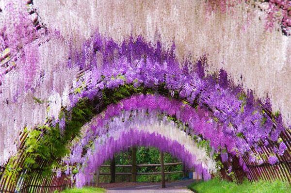The Wisteria Flower Tunnel At Kawachi Fuji Garden Japan Wisteria Tunnel Wisteria Garden Wisteria