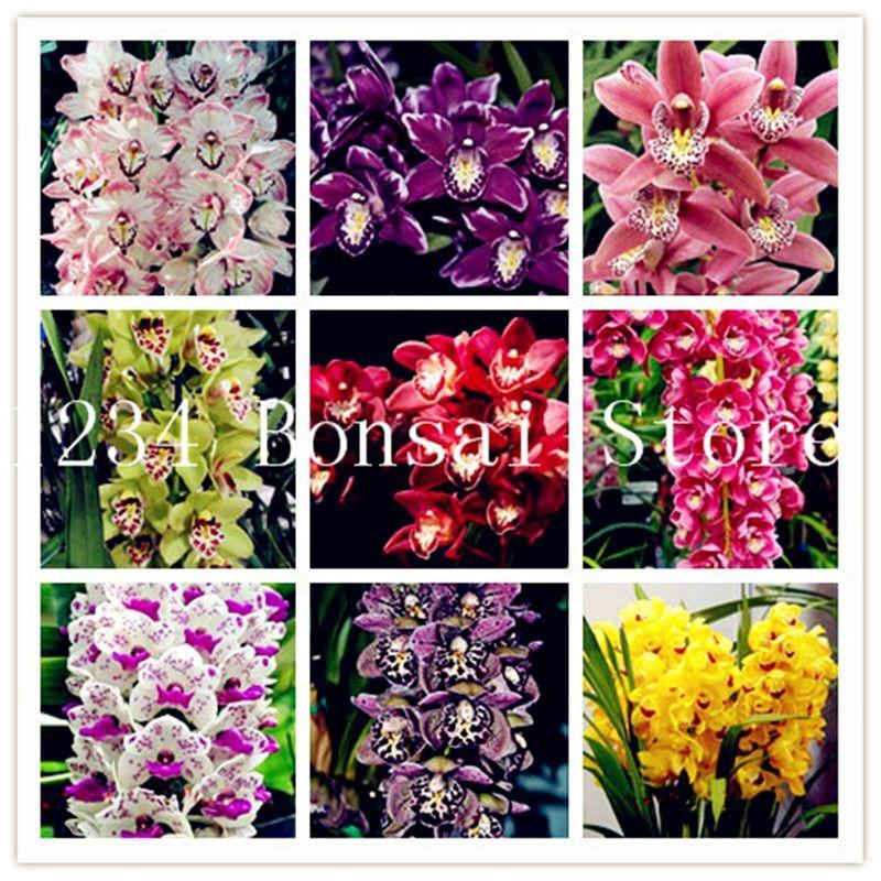 Sale 100 Pcs Rare Cymbidium Orchid Plants African Cymbidiums Plantas Phalaenopsis Bonsai Flower Plants For Home Bonsai Flower Orchid Plants Cymbidium Orchids