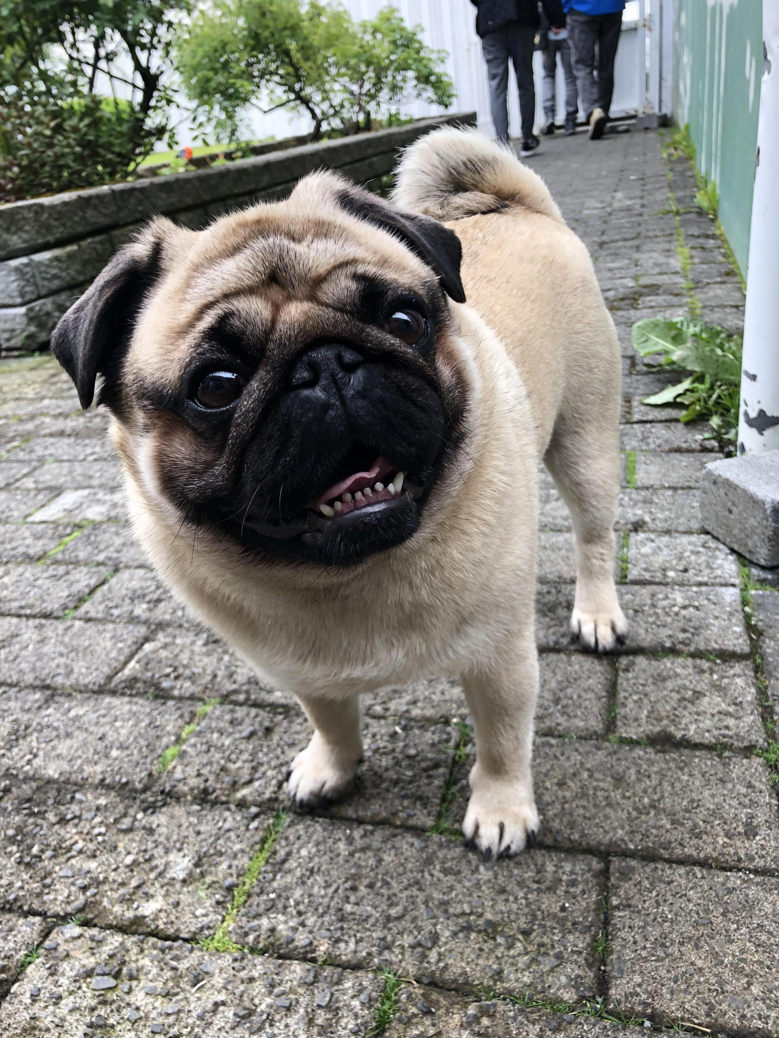 Exceptional Pug Info Is Offered On Our Internet Site Check It Out