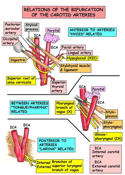 Pin de Patrice Browne en Awesome Anatomy.   Pinterest