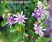 Grewia Occidentalis Grewia Asiatica Lavender Star Flower Star Flower Garden Catalogs Flowering Trees