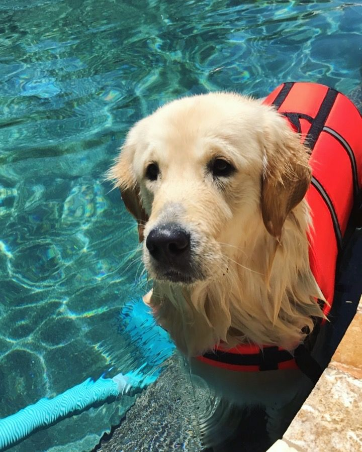 Golden Retriever Swimming With Life Jacket Dog Lover Dogs