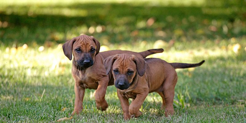 Ridgeback puppies for sale australia