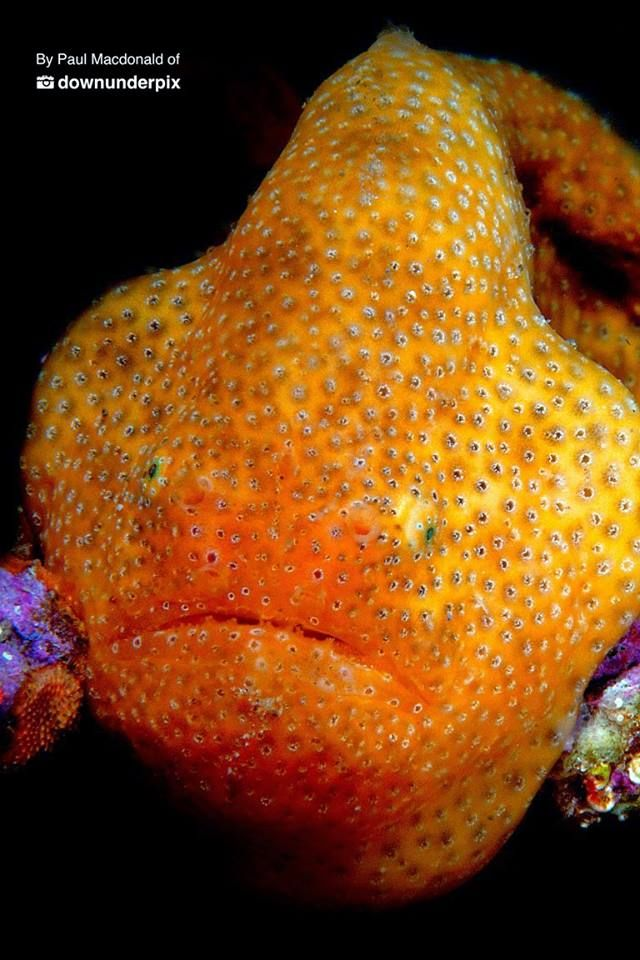 Frogfish By: Paul Macdonald www.paulmacdonaldphoto.com via Diving & Photography FB