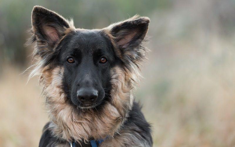 100 Best Boy German Shepherd Names