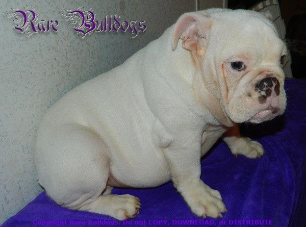 Akc English Bulldog Boy Blue Platinum Fawn Quad 4200 2800 Click