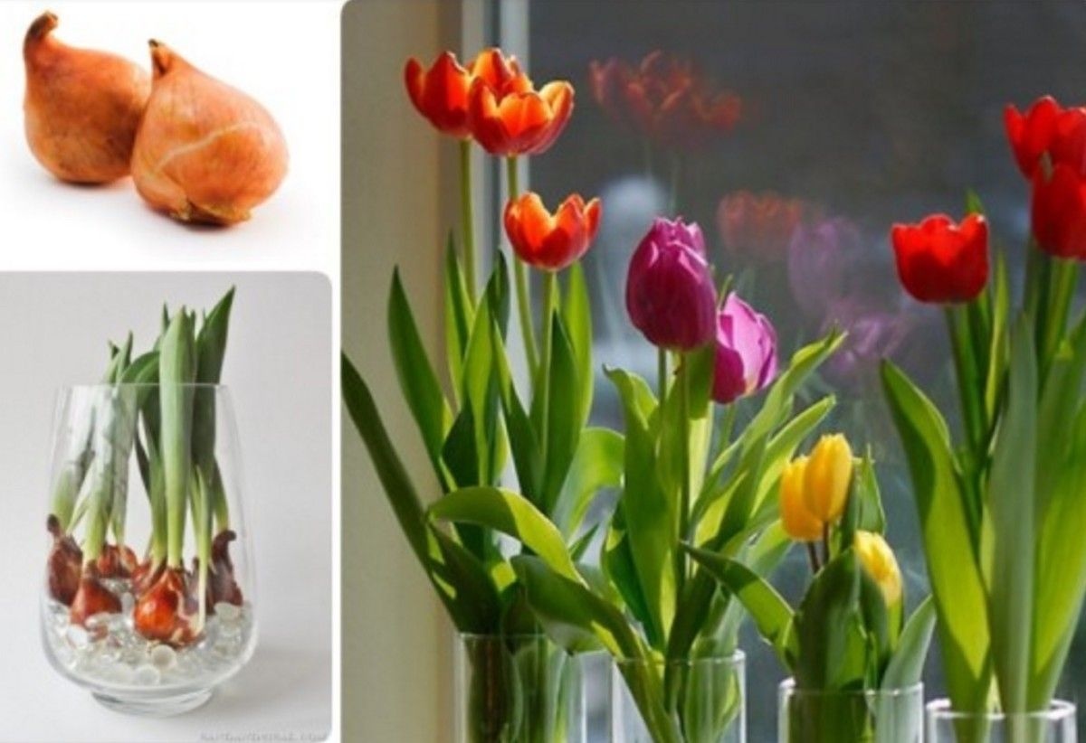 You won't need a green thumb or properly prepared rich in nutrients soil to grow tulips with this clever idea! You'll be able to grow beautiful colourful Tulip Bulbs in a Vase with no soil at  all year round. You'll also  the gorgeous Rainbow Roses.