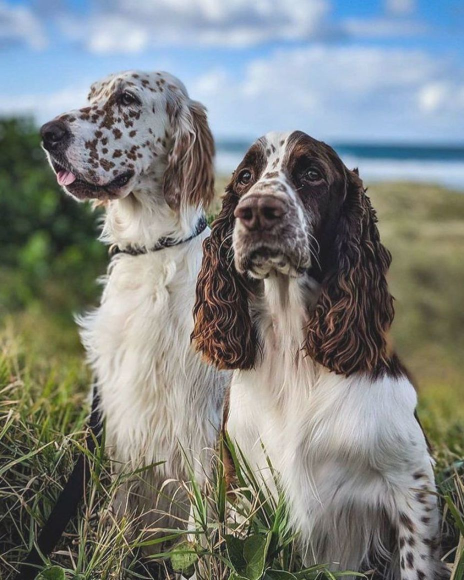 Honey And Alfie Are Today S Birddogoftheday Feature Honey Is An English Setter And Alf In 2020 English Springer Spaniel Puppy Springer Spaniel Puppies Spaniel Breeds