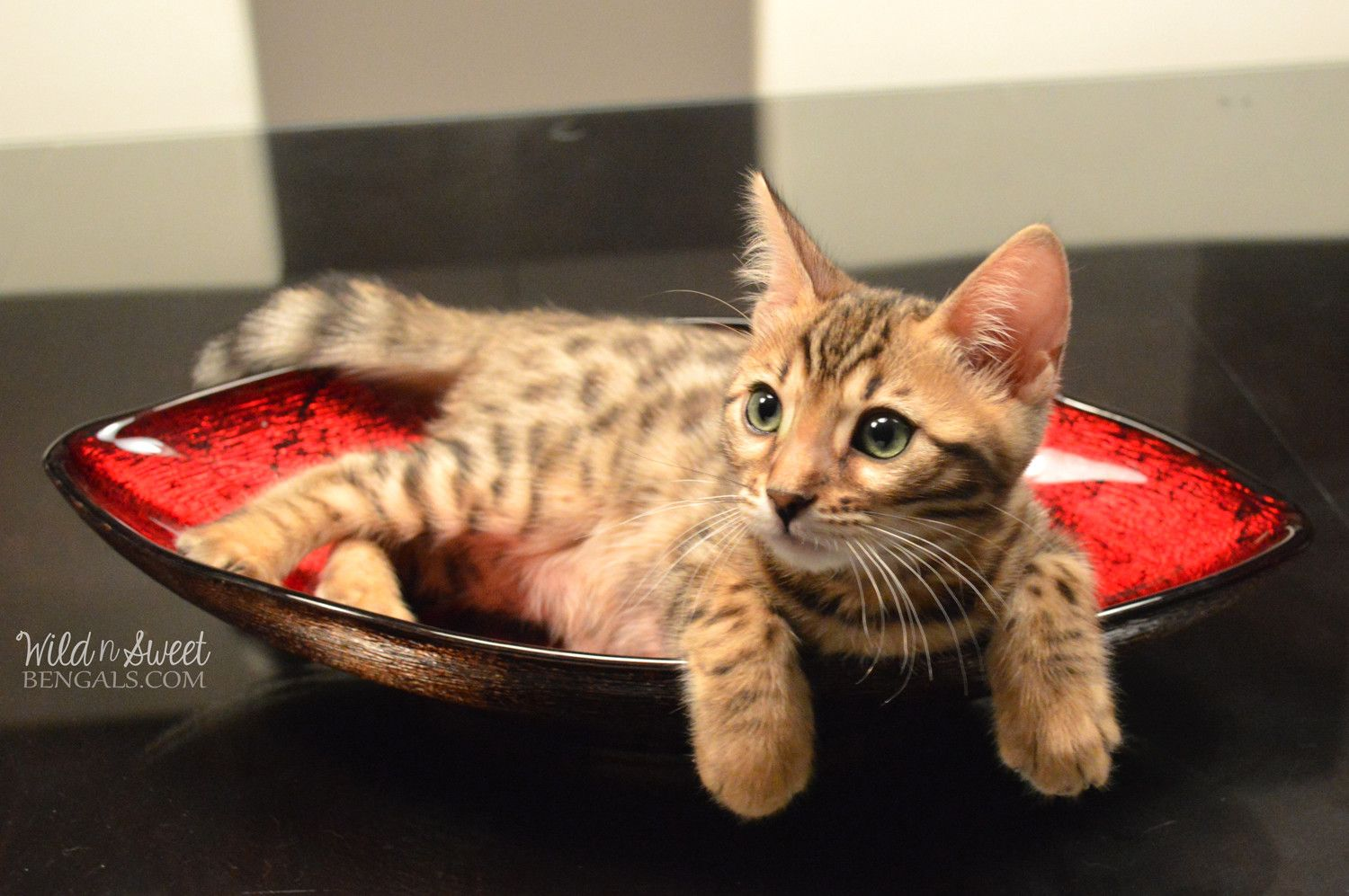 Bengal Kittens & Cats for Sale Near Me Bengal kitten