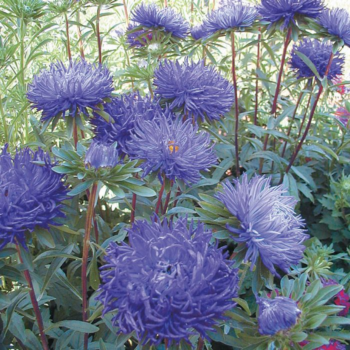 Pavlova Dark Blue Aster Cvety Foto Cvetov Hrizantemy