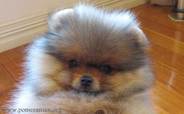 Pomeranian Puppy Diarrhea Pomeranian Puppy Cute Teacup Puppies Cute Puppy Breeds