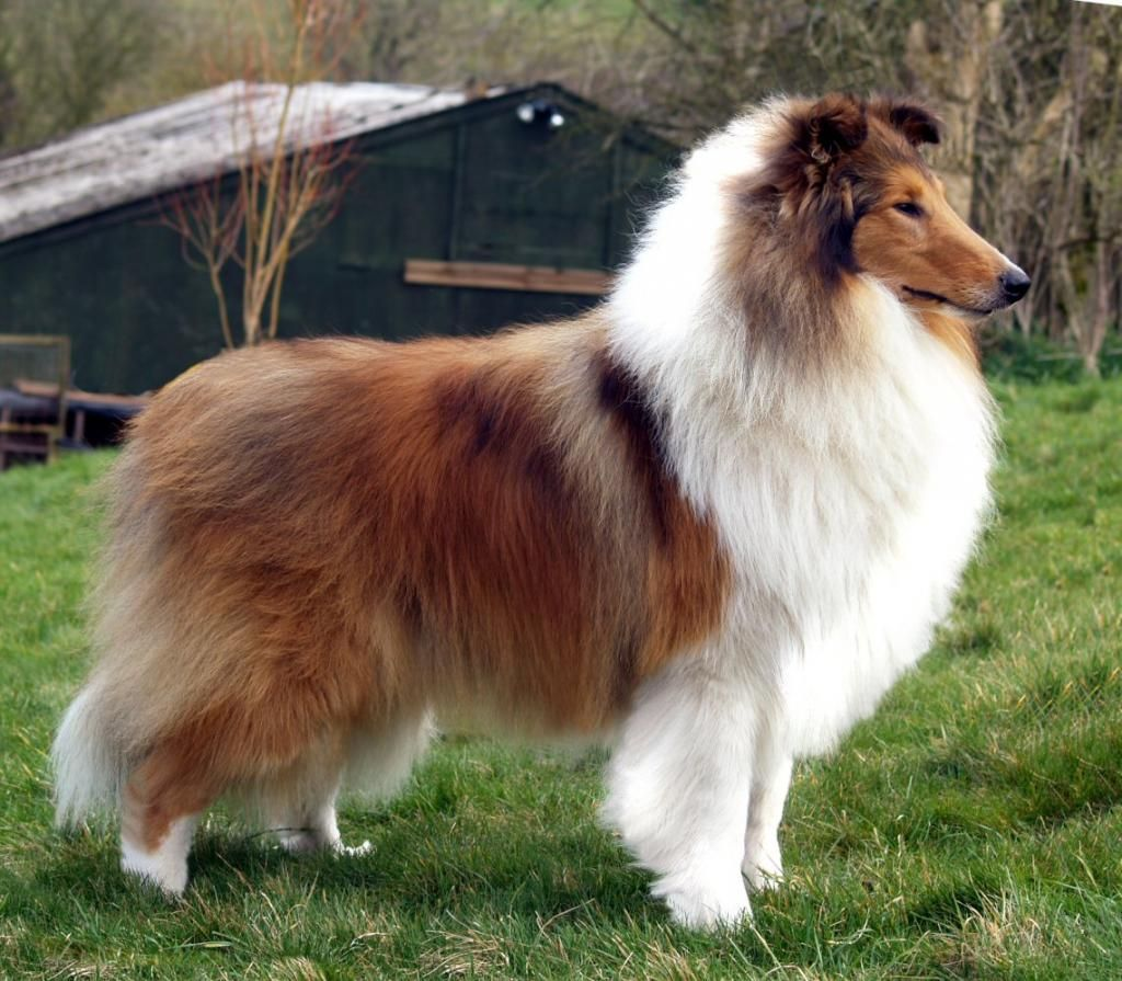 Golden Mahogany Rough Collie Collie Sheltie Dogs