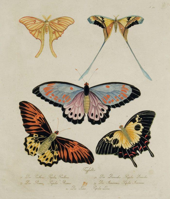 Antique butterfllies illustration. Karl Brodtmann - Butterflies