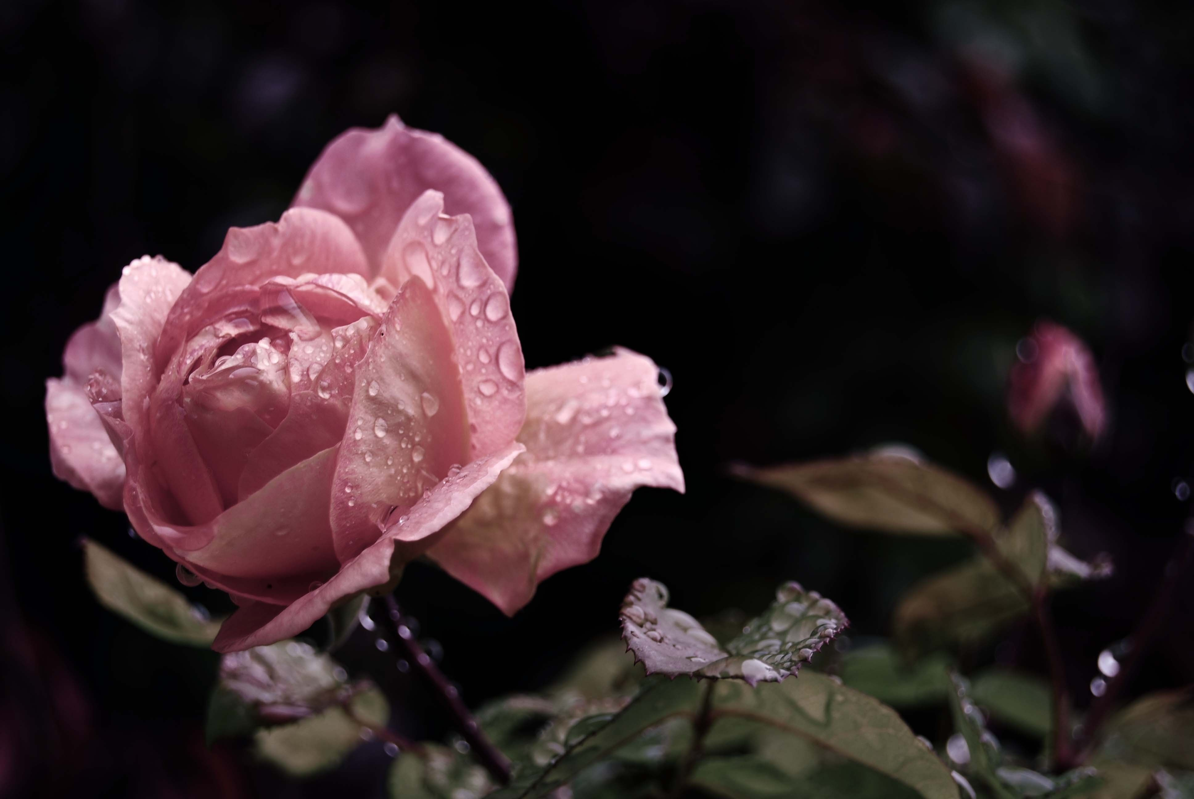 3872x2592 Wallpaper rose, flower, bud, leaf, drops, rain
