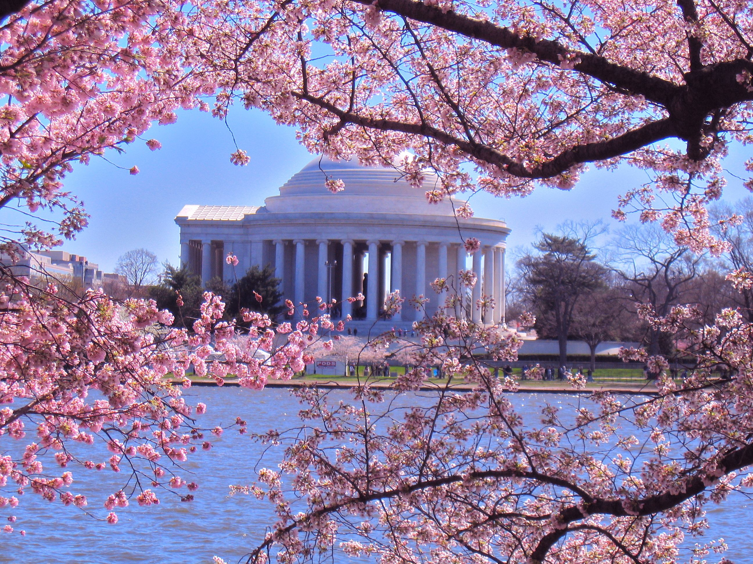 Image result for dc cherry blossoms