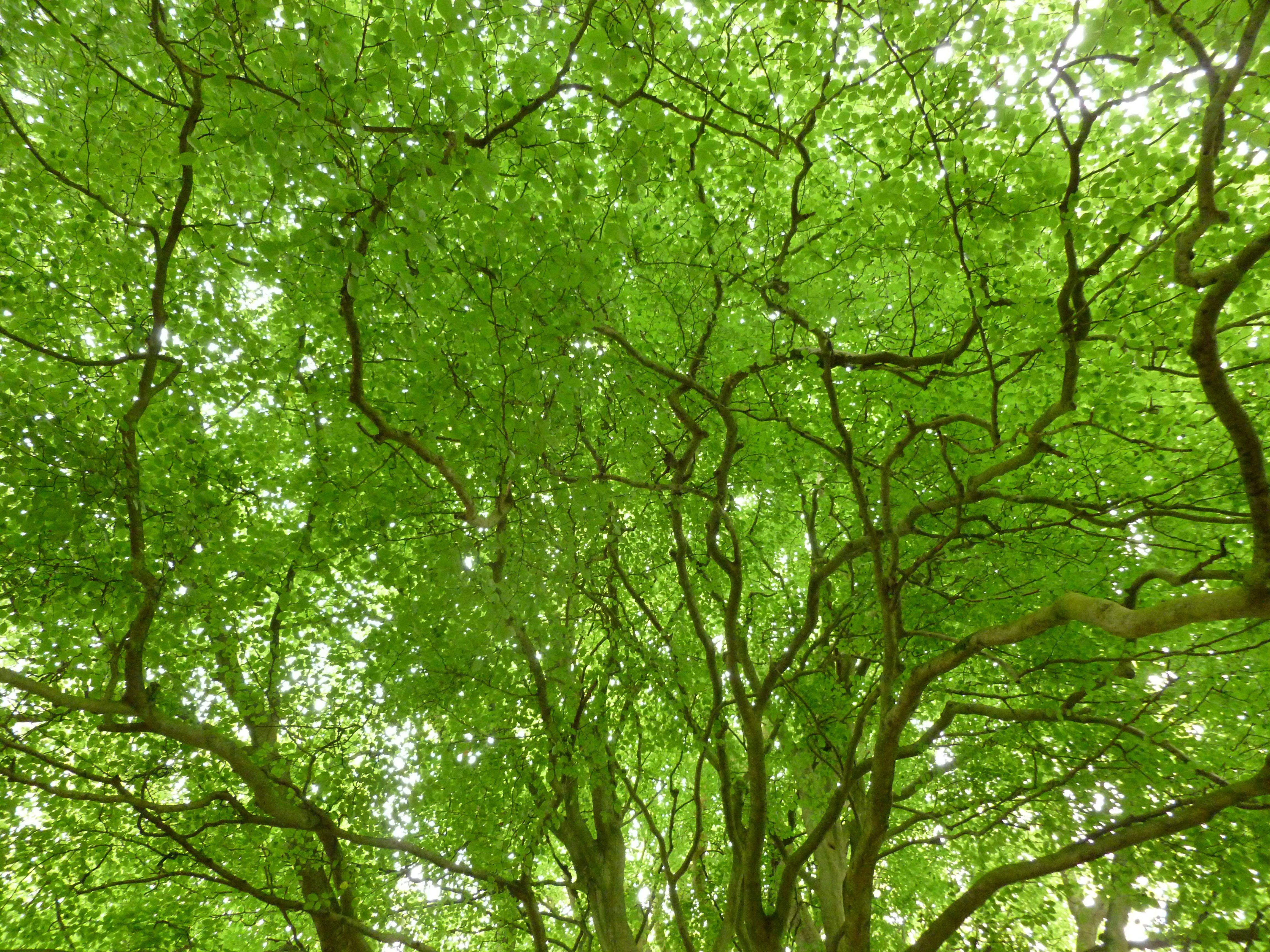 Beech Tree | Beech Trees | Pinterest | Beech tree