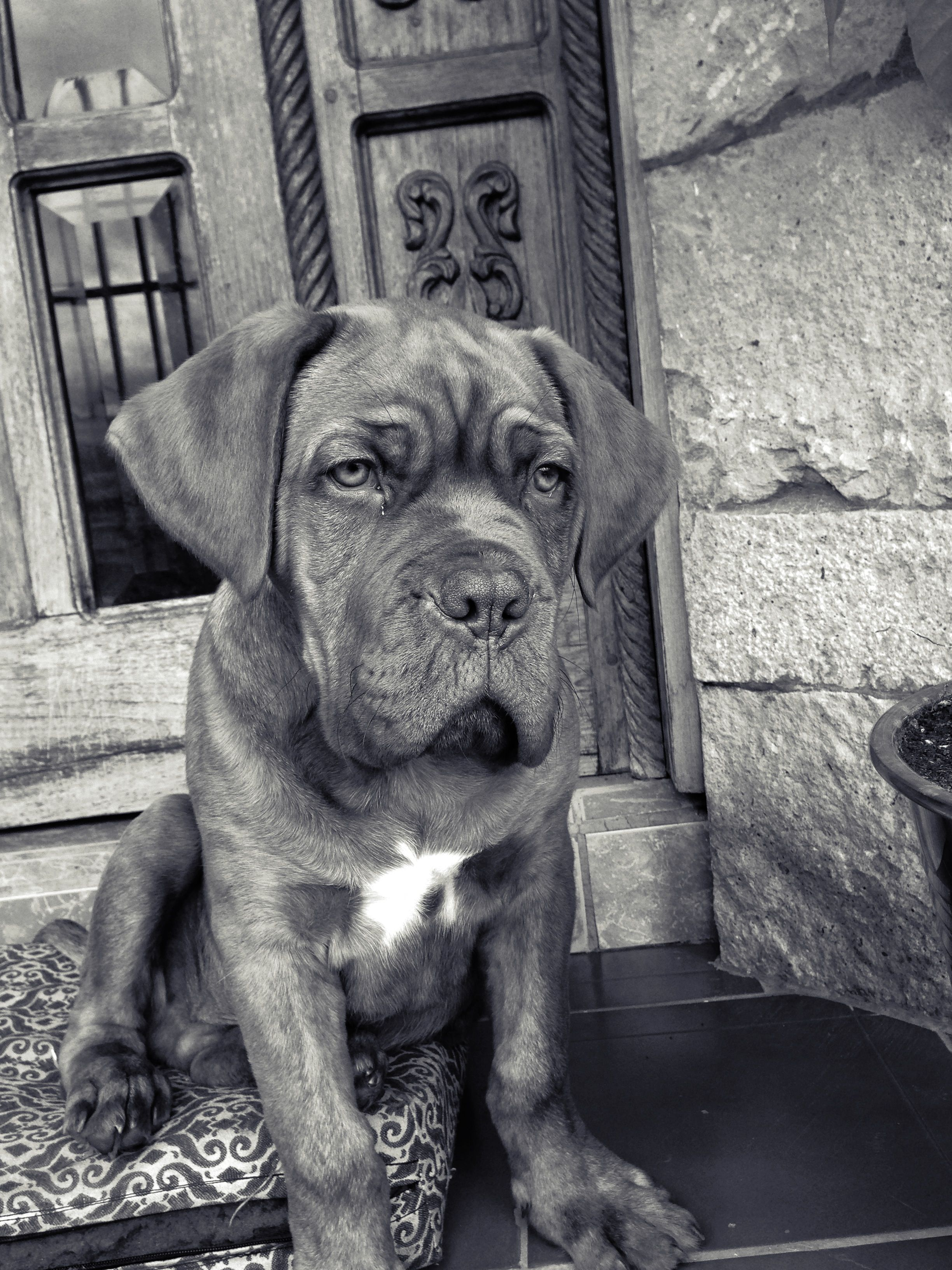Dogo De Burdeos Dogo De Burdeos Burdeos Mascotas