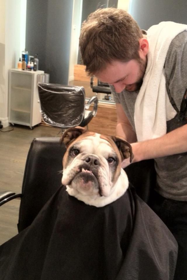 Pin By Becky On English Bulldogs Dog Grooming Dog Life Cute