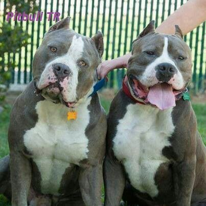 16 Lovable Bully Dog Breeds That You Should Get Before You Die