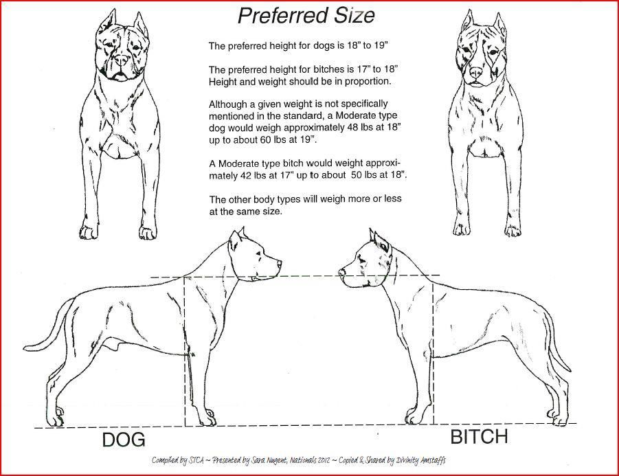 Preferred Size Of American Staffordshire Terrier Akc Bully