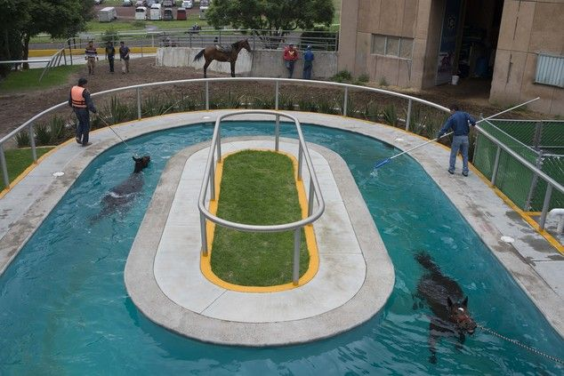 In This Wednesday July 2 2014 Photo Horses Swim In A
