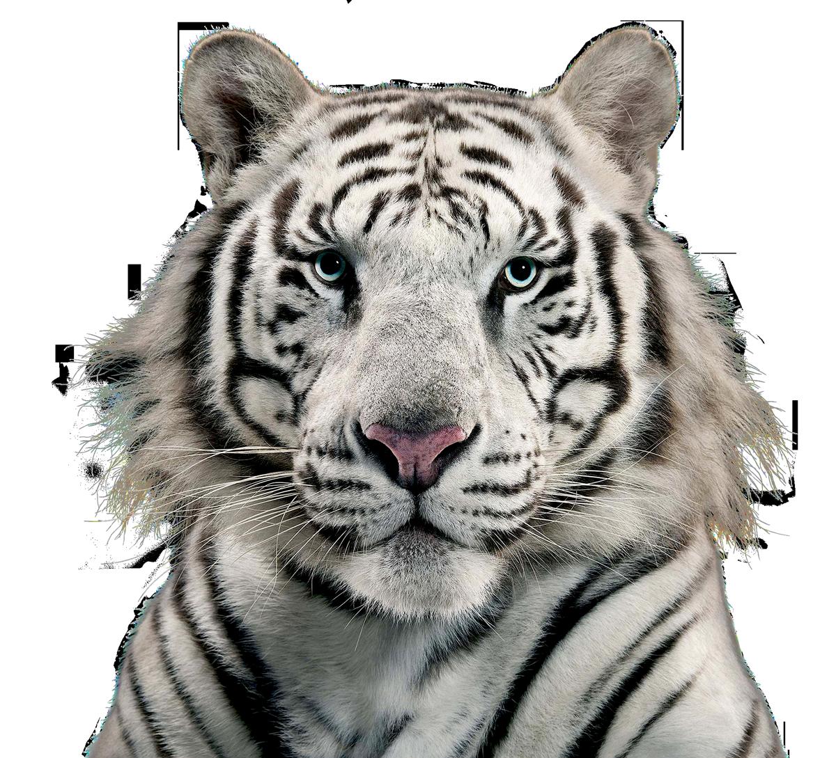 White Tiger Png Image White Tiger Tiger Images Tiger