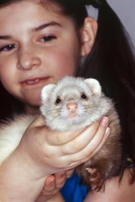 Pros Cons Of Ferrets As Pets Ferret Cage Ferret Pet Ferret