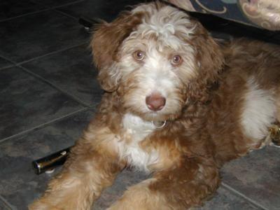 About Aussiedoodles Aussiedoodle Puppies For Sale Aussiedoodle