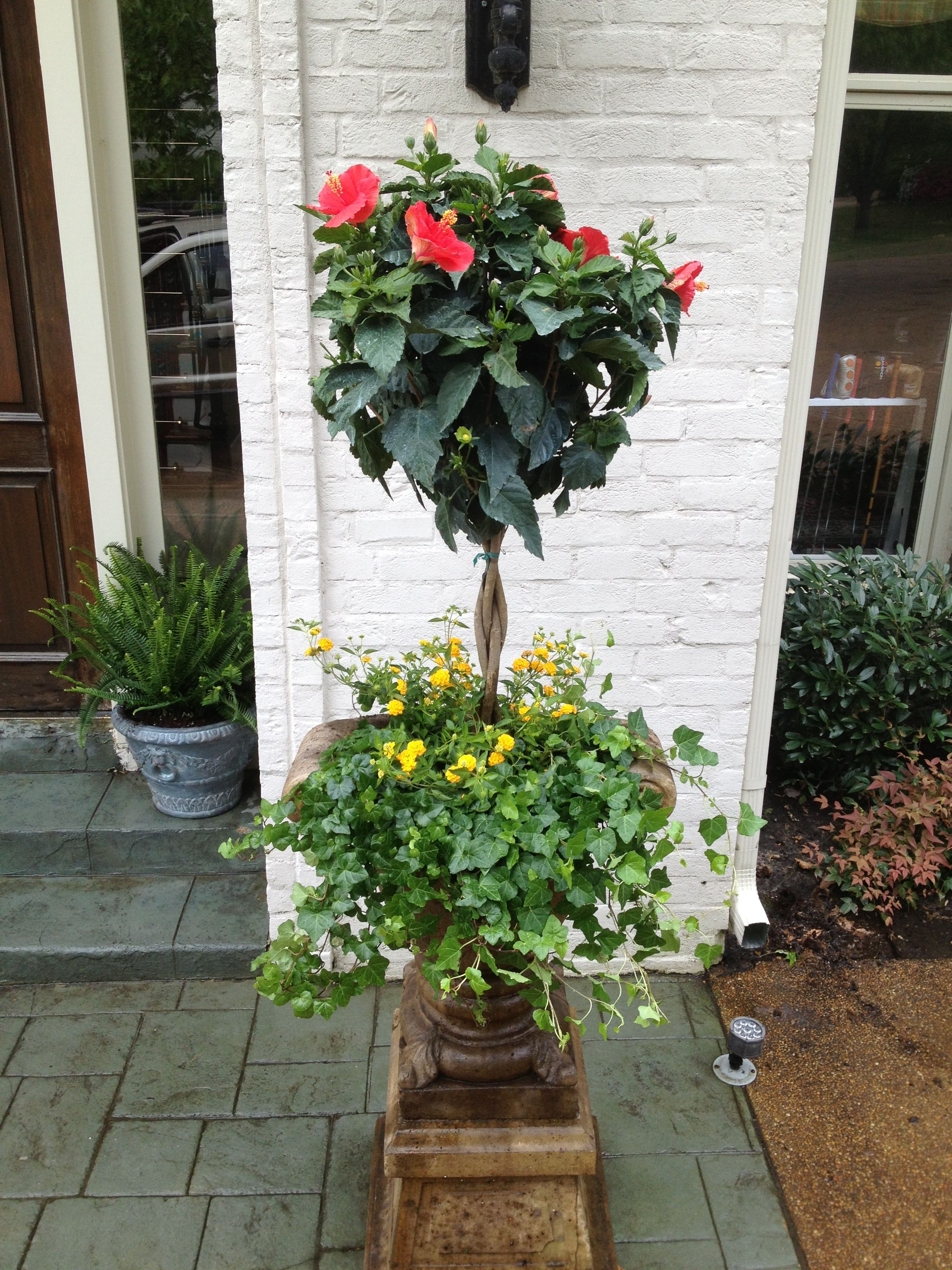 Hibiscus Topiary with Yellow lantana and Ivy Plants Potted in an Urn ...