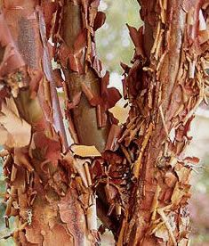 Acer Fall Color Deciduous Trees Fall Colors Maple Tree Seeds